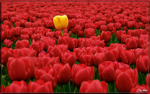 Single yellow tulip in a field of red tulips.
